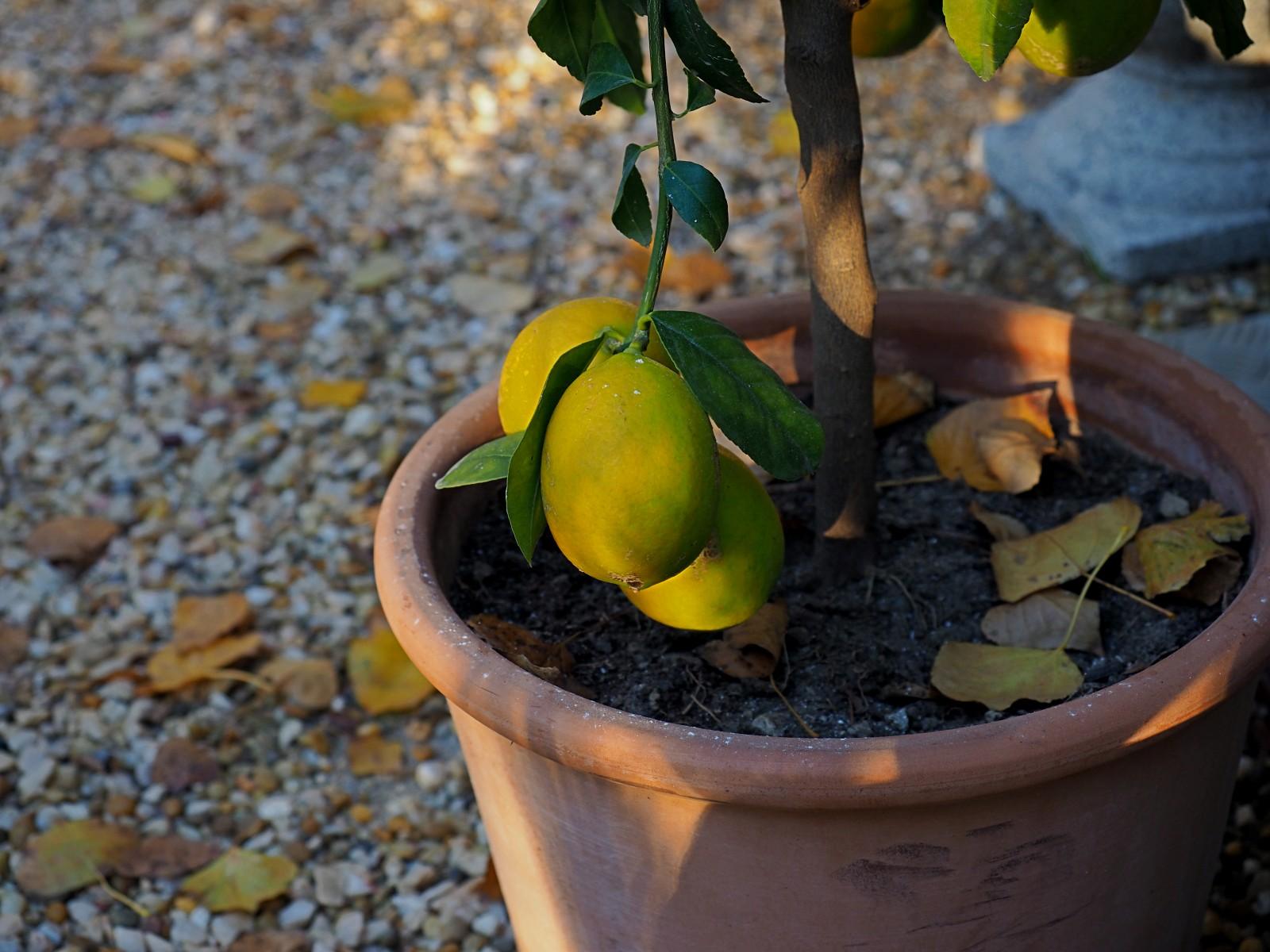 Zitronenbäumchen_PC080004